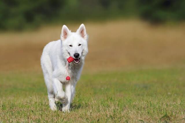 Muskelaufbautraining für Hunde